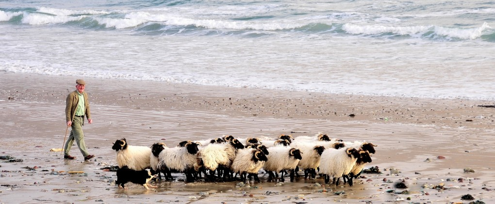 Achill Mountain Lamb - Beach