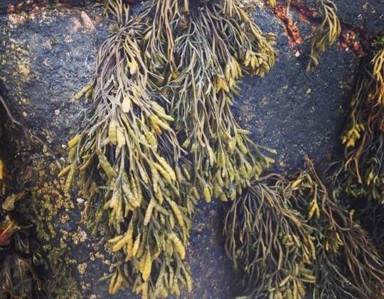sea weed weed