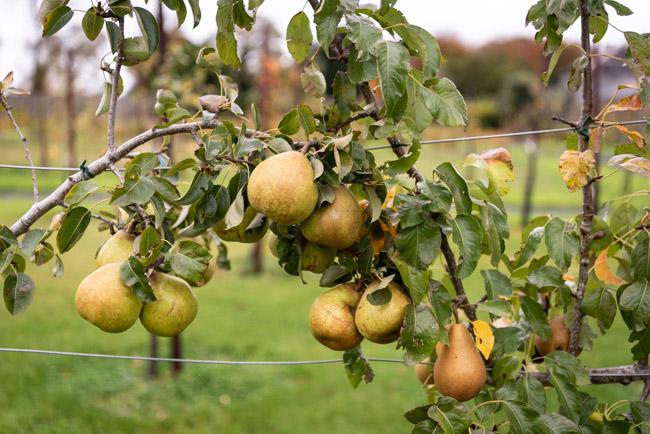 Pears at Attyflin, Co. Limerick